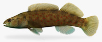 etheostoma maculatum spotted darter 3d model