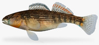 etheostoma spectabile orangethroat darter 3d fbx