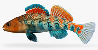 etheostoma spectabile orangethroat darter 3d model