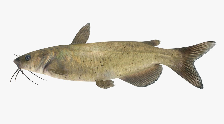 channel catfish 3d obj