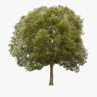 3d tree hackberry model