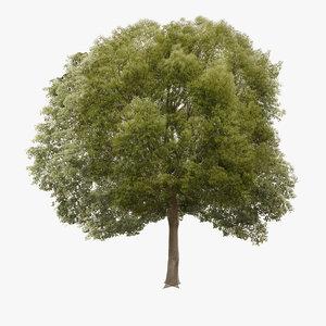3d tree hackberry model