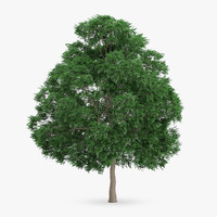 swedish whitebeam tree 15 3d model
