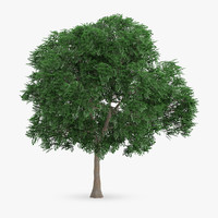 3d swedish whitebeam tree 10 model