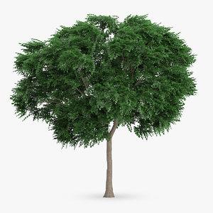 max swedish whitebeam tree 8
