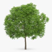 3d wild service tree 10m