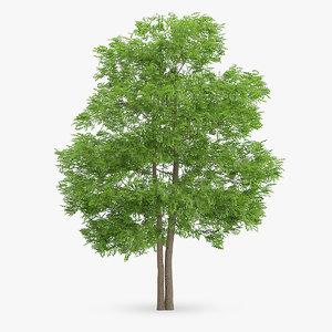 3d wild service tree 14m model
