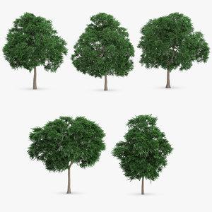 swedish whitebeam tree 3d model