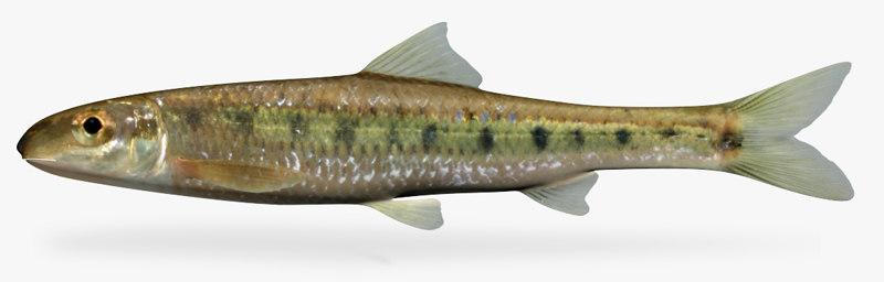 erimystax dissimilis streamline chub 3d fbx