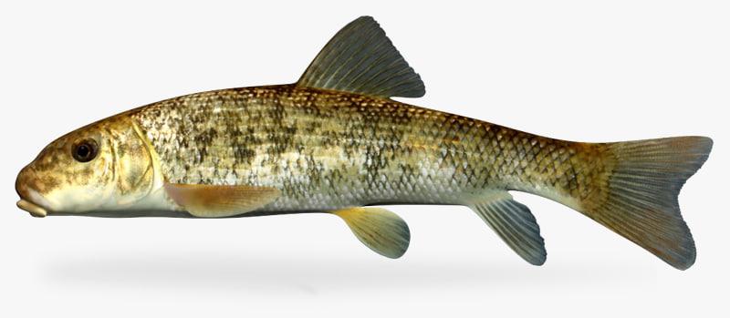 catostomus commersonii white sucker x