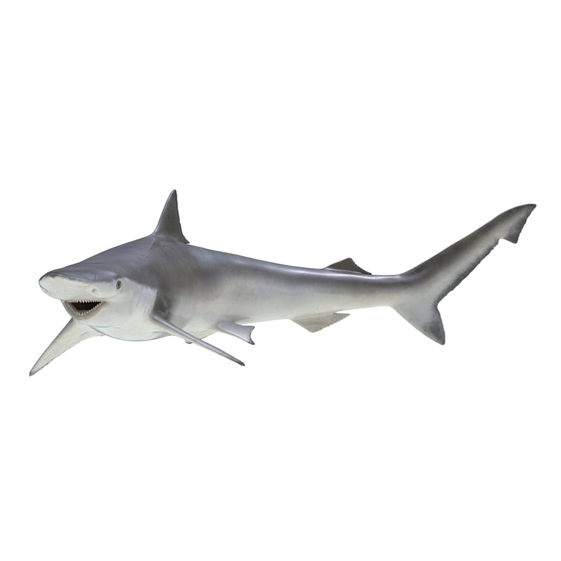3d model spadenose shark pose 2