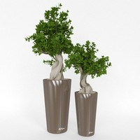 Two decorative ficus bonsai
