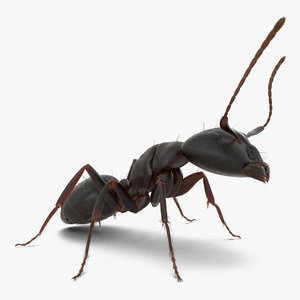 3d black ant fur pose