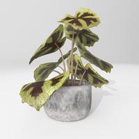 begonia plant 3d model
