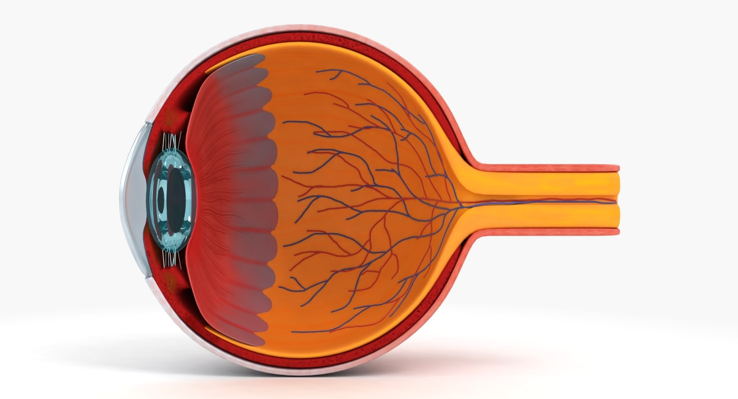 3d eye anatomy model