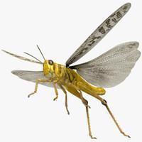 obj schistocerca gregaria desert locust