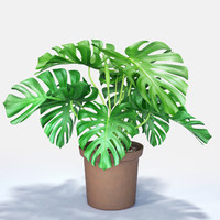 3d model monstera cheese plant