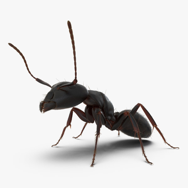 3d model black ant pose 2