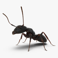 Black Ant Pose 2