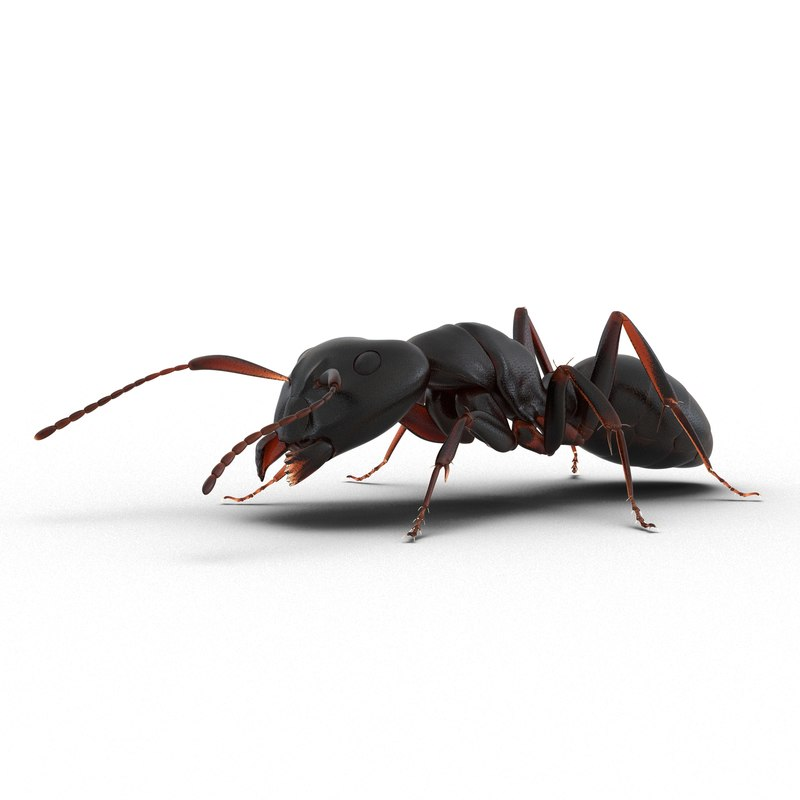 3d model black ant pose 3