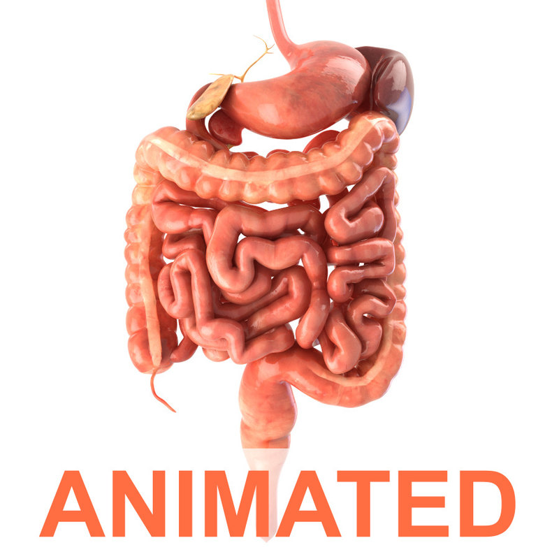 human digestive animation 3d model