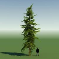 MOUNTAIN HEMLOCK CONIFER TREE 01
