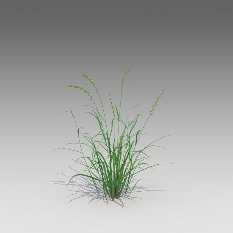 3d annual ryegrass grass model