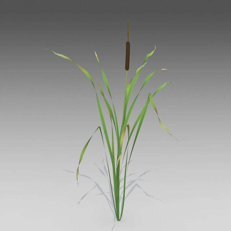 3d model of reed