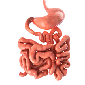 3d model realistic human stomach small intestine