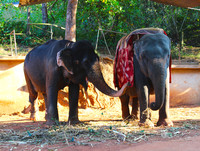 elephants in India