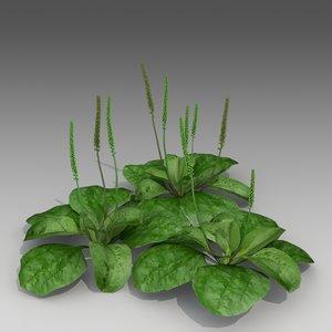 plantago major 3d model
