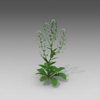thlaspi arvense grass fbx