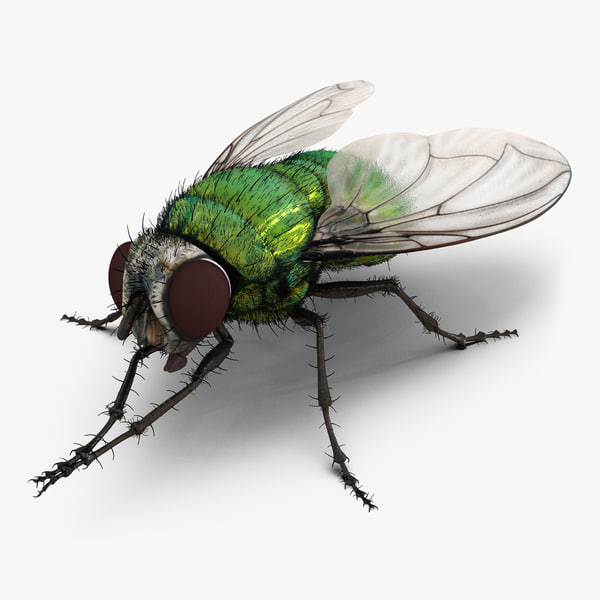 green bottle fly pose max