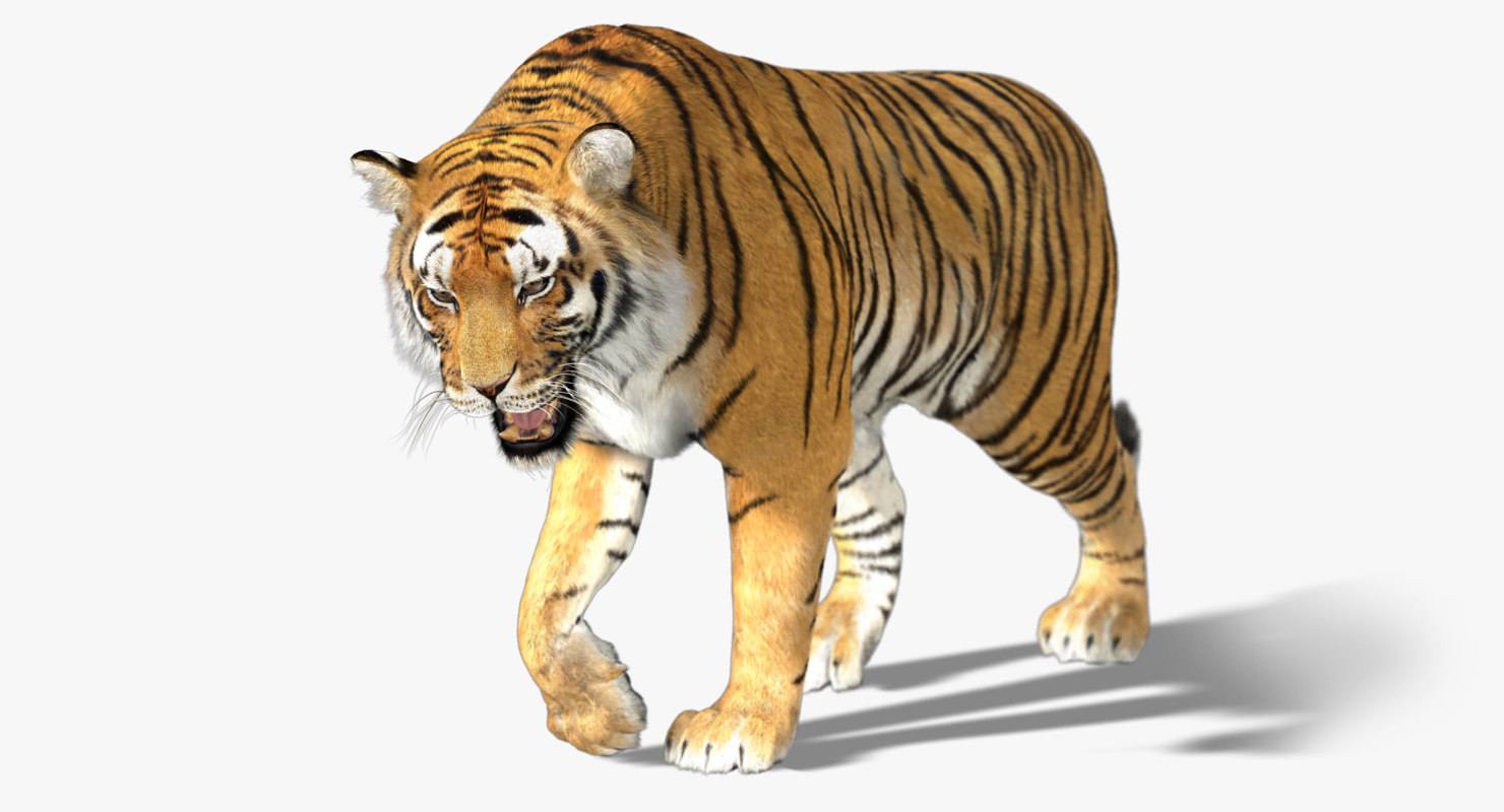 Image result for tiger drawing