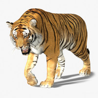 3d tiger fur animation model