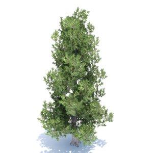 white bark pine tree max