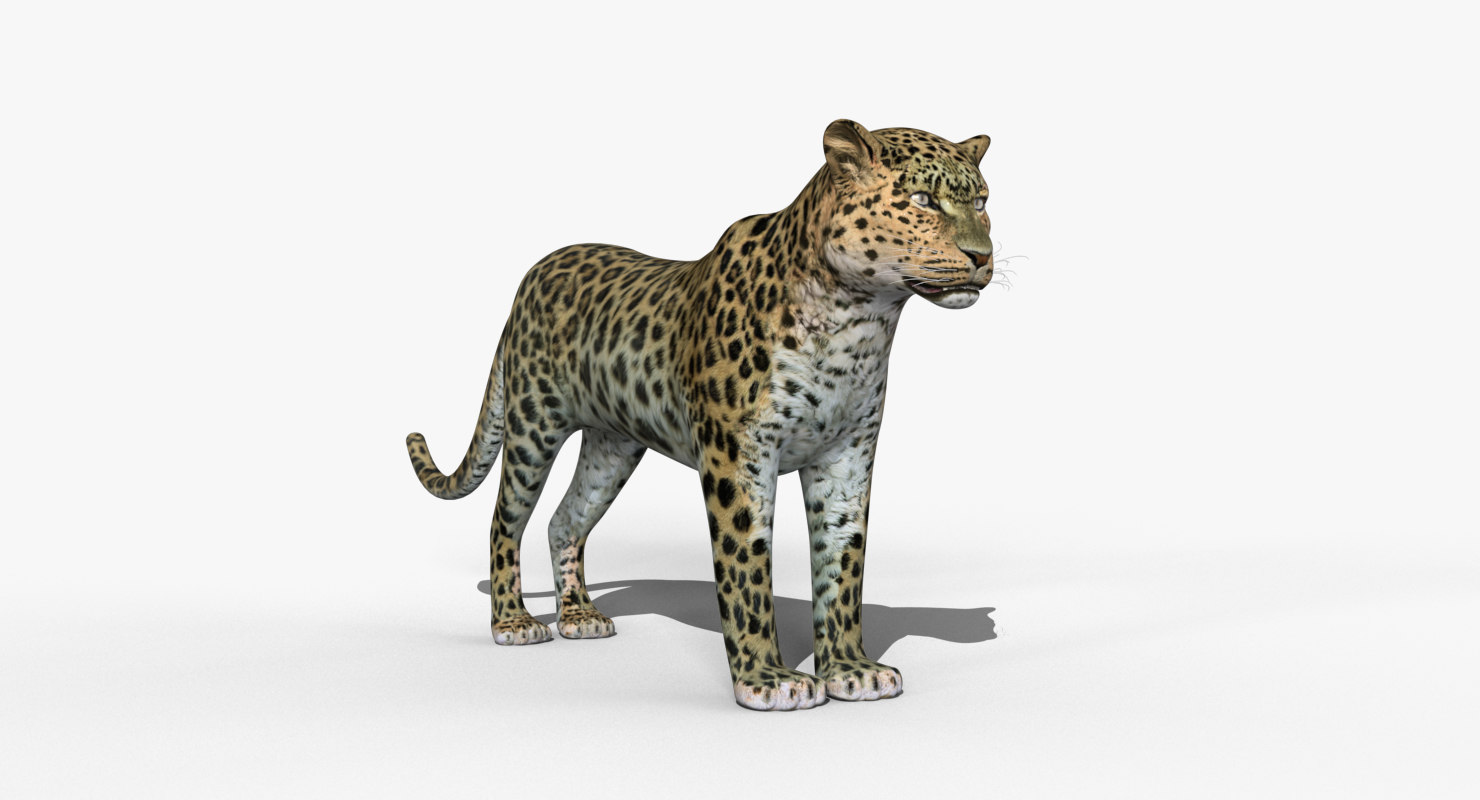 amur leopard max