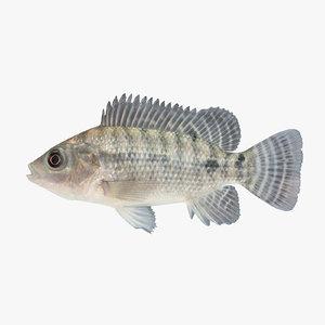 3d model tilapia cichlid fish
