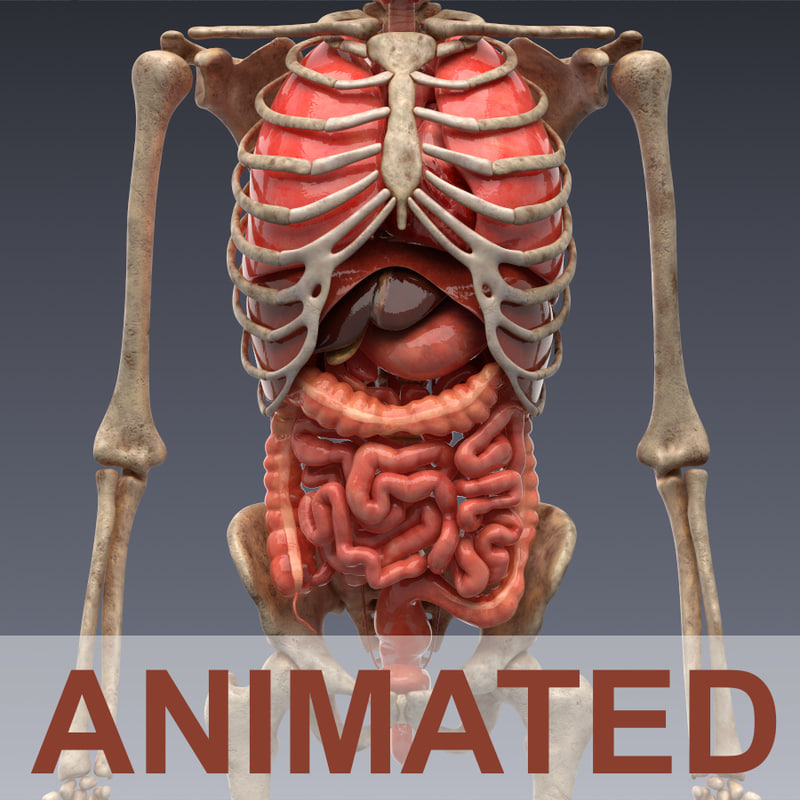 human internal organs 3d model, Skeleton