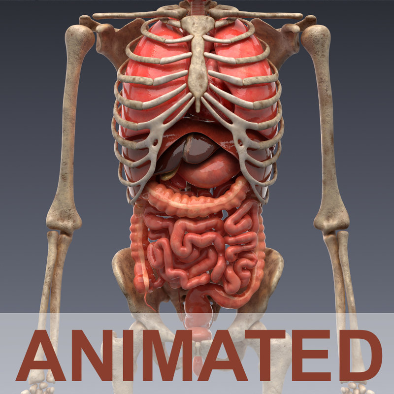 3d model Human anatomy: animated skeleton and internal organs, Realistic  vray materials and render human anatomy