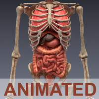 realistic human internal organs 3d model