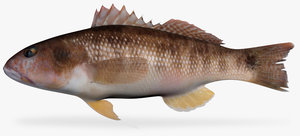 pacific sand perch 3d fbx