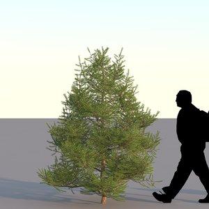 3d spruce tree