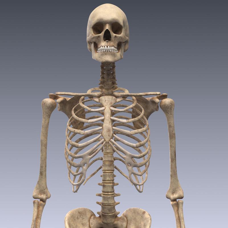 human skeleton 3d models for download | turbosquid, Skeleton