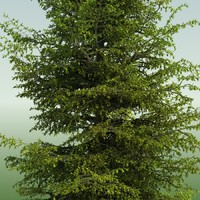 MOUNTAIN HEMLOCK CONIFER TREE 02