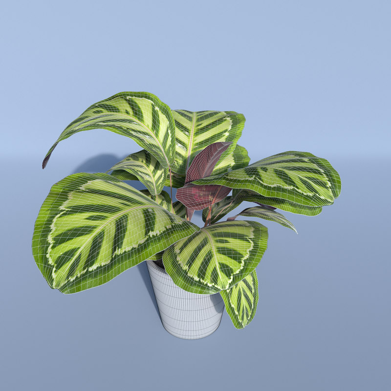 3d model calathea rosea picta indoor