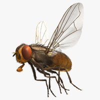 Musca Domestica 'House Fly'