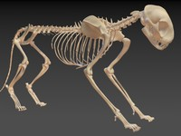 cat skeleton 3d model