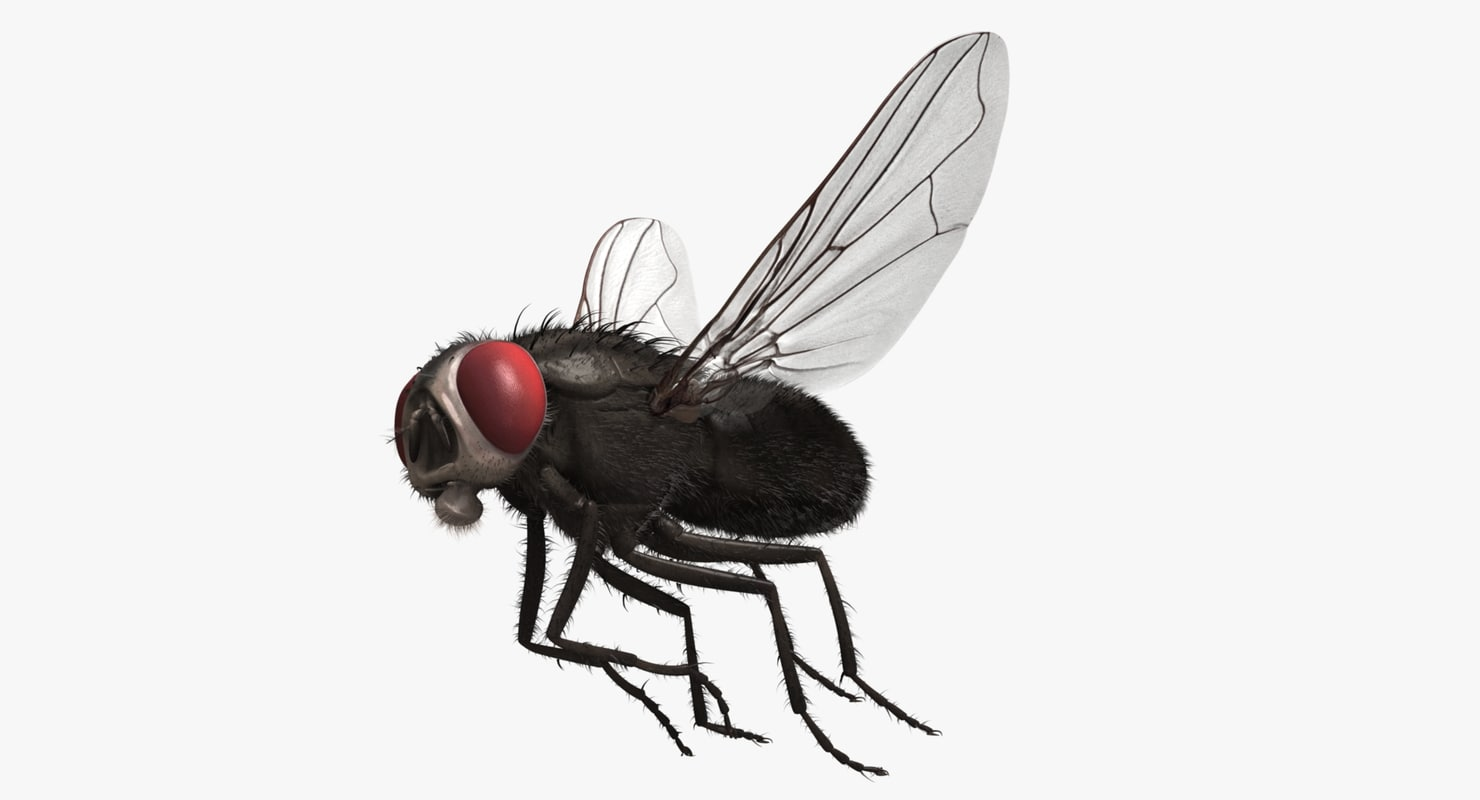 ma musca domestica black house fly