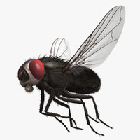"Musca Domestica ""Black House Fly"